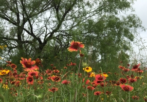 Spring Indian blankets under mesquite tree
